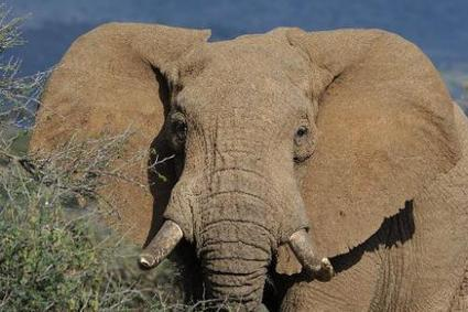 Time running out for wild African elephants: experts | Evrimsel Pencere | Scoop.it