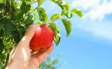 "Apples: Yet Another ""Perfect"" Food? 