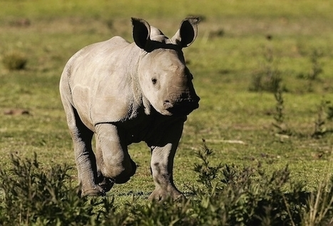 Can Stem Cell Technology Save The Northern White Rhino? | What's Happening to Africa's Rhino? | Scoop.it