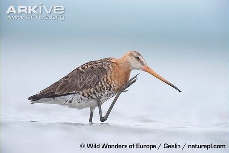 Swedish Critically Endangered Species, Part VII: Black-tailed Godwit / Rödspov | Garry Rogers Nature Conservation News | Scoop.it