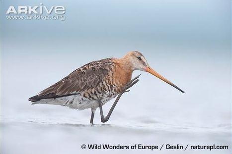 Swedish Critically Endangered Species, Part VII: Black-tailed Godwit / Rödspov | GarryRogers Biosphere News | Scoop.it