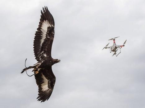 L'Armée de l'Air va utiliser des aigles royaux contre les drones légers - Defens'Aero | Actualité Aéromodélisme | Scoop.it