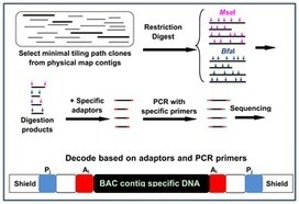PLOS ONE: Generation of Physical Map Contig-Specific Sequences Useful for Whole Genome Sequence Scaffolding   Plant Breeding and Genomics News   Scoop.it
