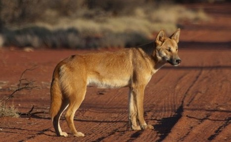 Dingoes and Dogs in Indigenous culture | Teaching Indigenous Health | Scoop.it