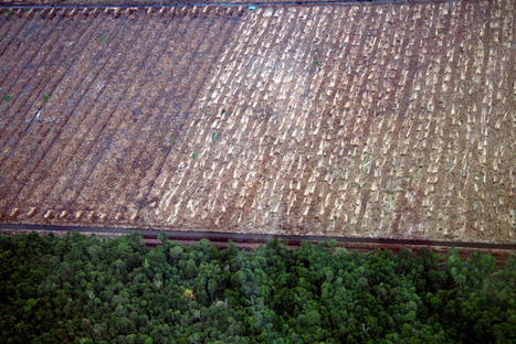 Palm oil continues to destroy Indonesia's wildlife | Geography in the classroom | Scoop.it