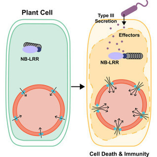 Nuclear Pore Permeabilization Is a Convergent Signaling Event in Effector-Triggered Immunity | Plant-microbe interaction | Scoop.it