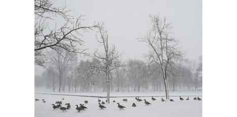 Deux mille oies tuées par le choléra aviaire aux Etats-Unis | Chasse dans le Nord... et ailleurs | Scoop.it