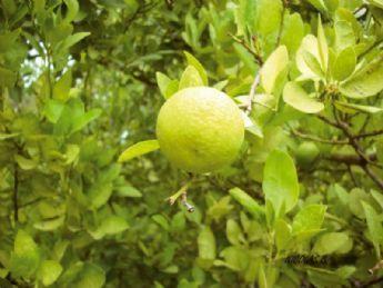Limón: beneficios para la salud | Apasionadas por la salud y lo natural | Scoop.it