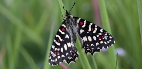 La diversité cachée des papillons européens | EntomoNews | Scoop.it