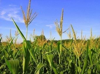 L'étude sur les OGM publiée par l'équipe du Professeur Gilles-Eric ... | Abeilles, intoxications et informations | Scoop.it