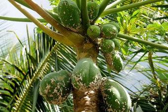 Les papayers en danger à Maurice - Linfo.re | Développer l'industrie agroalimentaire en Afrique | Scoop.it