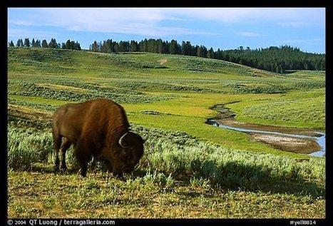 Bisons de Yellowstone : le 6e sens des animaux en question | Vivre Mieux! | Scoop.it