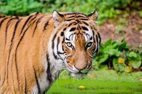 Protecting Tiger Habitat in Sumatra: Challenges and Opportunities | The Glory of the Garden | Scoop.it
