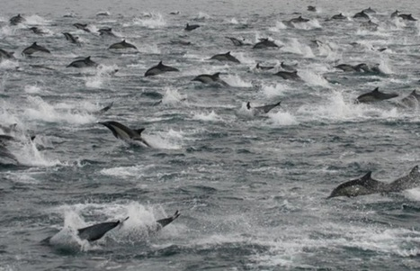 Video: Ocean churns with thousands of dolphins in front of San Diego boat tour - The Province | Water Stewardship | Scoop.it