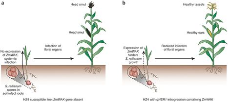 New insight into a complex plant-fungal pathogen interaction : Nature Genetics : Nature Publishing Group | Plant immunity | Scoop.it