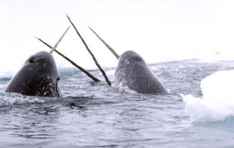 Summer #Narwhal #Hunt Confirmed for 2013 !!! | Now is the Time to Help our Oceans & it's Species ! | Scoop.it