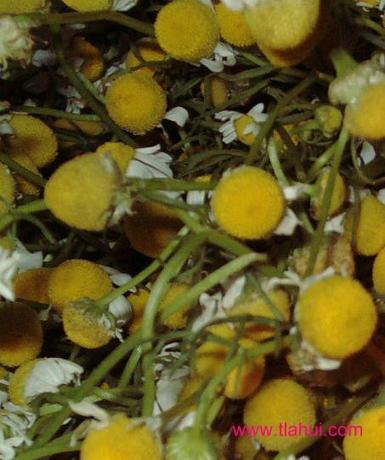 Usos medicinales de la manzanilla. Tlahui - Medic No. 26, II/2008 | LA MANZANILLA : BENEFICIOS Y USOS MEDICINALES. | Scoop.it