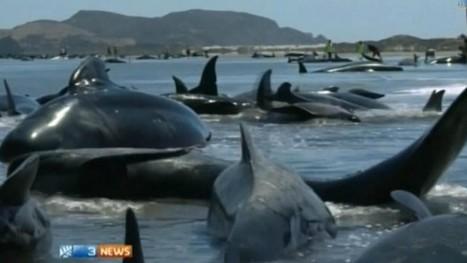 Vidéo : près de 200 baleines échouées en Nouvelle-Zélande - focuSur.fr | J'écris mon premier roman | Scoop.it