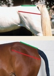 The Anatomy of the Dressage Horse Hindquarters | EquiSearch | Carriage Driving Radio Show | Scoop.it