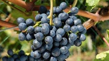 Un nouveau cépage résistant au mildiou est lancé | Le meilleur des blogs sur le vin - Un community manager visite le monde du vin. www.jacques-tang.fr | Scoop.it