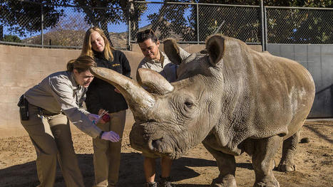 Safari Park veterinarians puzzled as to what ails endangered northern white rhino | What's Happening to Africa's Rhino? | Scoop.it