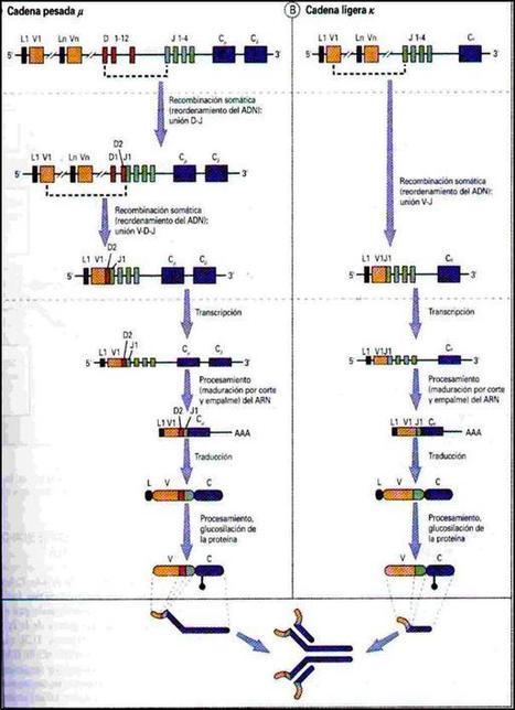 Linfocitos B   Linfocitos: sus funciones, estructura y su relación con el sistema inmunologico   Scoop.it