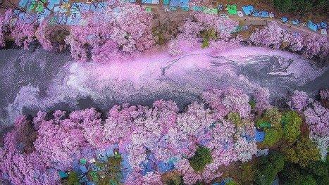 Au Japon, les cerisiers sont en fleurs ! 16 photos si belles qu'on croirait voir des tableaux ! | Mangas, littérature et culture d'Asie | Scoop.it