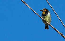 The '800 Challenge' - Southern Africa: Xanthochromism - a yellow Black-collared Barbet | 800 Challenge - Birding Southern Africa | Scoop.it