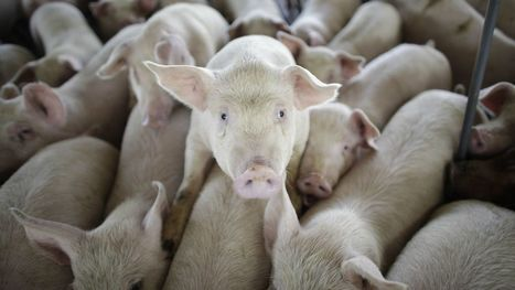 Months after Big Pork said it couldn't be done, Tyson's raising up to a million pigs antibiotic free | Food In Healthcare | Scoop.it