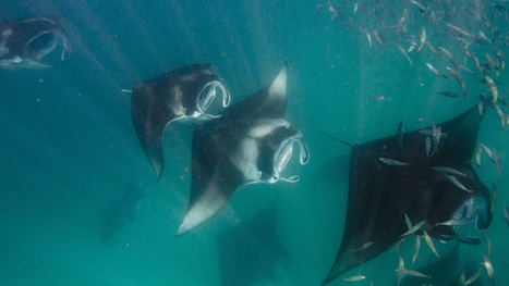 Les experts perplexes devant la baisse de reproduction des Mantas aux Maldives | Rays' world - Le monde des raies | Scoop.it