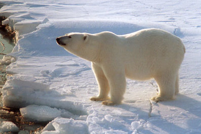 Number of polar bears in the Arctic is decreasing - Russia Beyond the Headlines | Sail and climb in the Arctic | Scoop.it