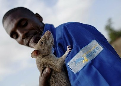 Bart Weetjens' Hero rats put noses to work on Mozambique's landmines | Social Entrepreneurship | Scoop.it