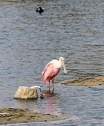 Port Aransas attracts a wide variety of feathered residents   Texas Coast Living   Scoop.it