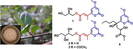 Secondary metabolites from the endophytic fungus Pestalotiopsis virgatula isolated from the mangrove plant Sonneratia caseolaris | Natural Products Chemistry Breaking News | Scoop.it
