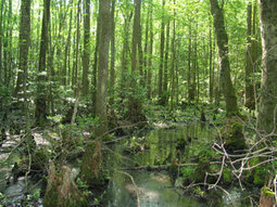 Rare, Threatened & Endangered Plants of Maryland - Wildlife and Heritage Service - Maryland Department of Natural Resources | Battle Creek Cypress Swamp | Scoop.it
