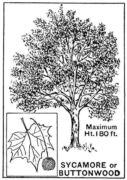 Sycamore Tree planted at the Capitol in memory of Emmett Till | Black History Month Resources | Scoop.it