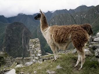 Llamas, Llama Pictures, Llama Facts - National Geographic   Llama Llama Misses Mama   Scoop.it