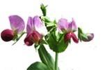 Cool Season Food Legume Genome Database | Databases & Softwares | Scoop.it