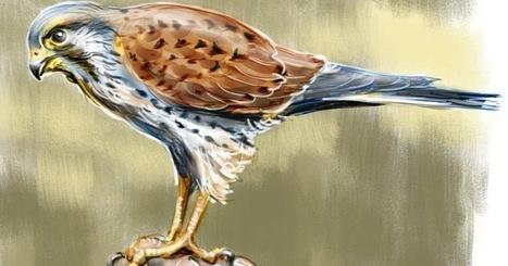 Bird of the Day: Common Kestrel   Birding in the news   Scoop.it