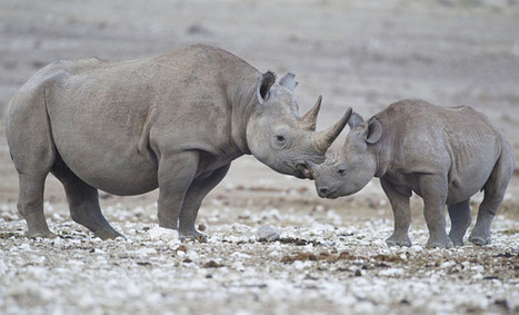 Australian Rhino Project Moving African Rhinos To Australia? | Global Animal | Endangered species Australia | Scoop.it