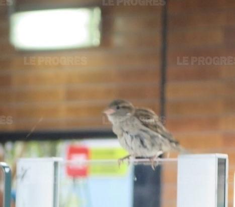 Des moineaux jouent les colibris dans le métro de Lyon | Biodiversité | Scoop.it