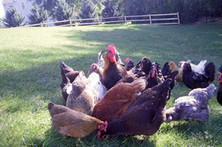 Chicken Owners Scramble When Their Pet Feels Foul - Wall Street Journal | Food for Pets | Scoop.it