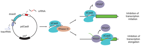 Programmable repression and activation of bacterial gene expression using an engineered CRISPR-Cas system | Host and Microbe | Scoop.it