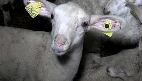 Le paradoxe de l'abattoir | La Gazette des abattoirs | Scoop.it