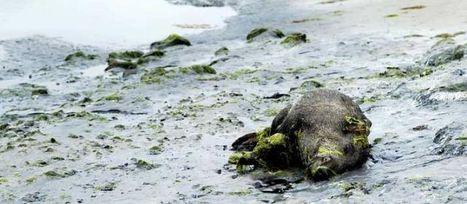 Côtes d'Armor : l'hécatombe de sangliers se poursuit sur les plages | Ma Bretagne | Scoop.it