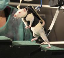 Científicos consiguen que ratas paralíticas vuelvan a andar y a correr | Las cosas que me importan | Scoop.it