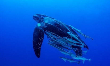 Take action: Endangered turtles and drift gillnets don't mix | EcoAction | Scoop.it