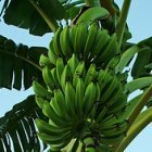 Banana compost could boost crop yields, a study finds - SciDev.Net | Agricultural Biodiversity | Scoop.it