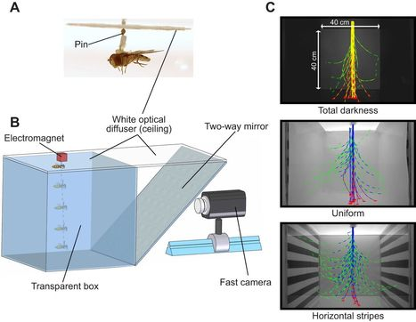 Les mouches font de la voltige sans accéléromètre   EntomoNews   Scoop.it