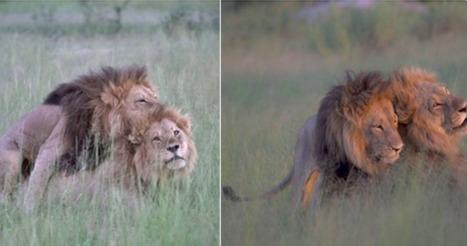 Une photographe belge capture l'intimité d'un couple de lions gay - SciencePost | Jaclen 's photographie | Scoop.it